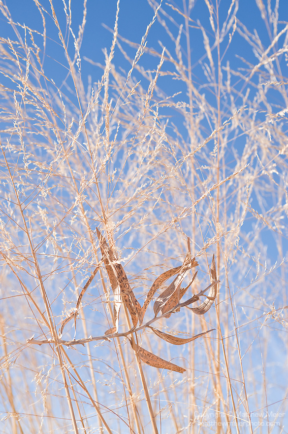 Coral Pink Sand Dunes State Park, Kanab, Utah; Big Sandreed (Calamavilfa gigantea) with a dried, dead branch of Rough Mulesears (Wyethia scabra attenuata) against blue skies in winter