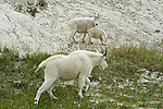 A family of mountain goats in Jasper National Park