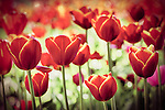 Retro inspired photograph of red tulips in a garden