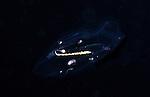 Salp Taxi, Black Water diving, Pelagic marine life; planktonic creature; Off Riviera Beach, Fl, Gulfstream Current, South Atlantic Ocean.