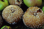 Group of eight apples with four soft and brown and covered with specks of white mould