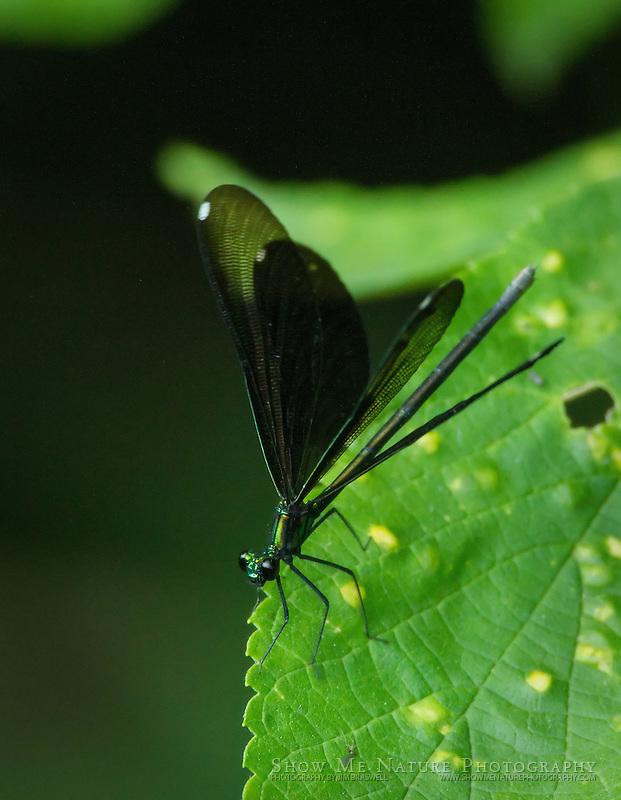 Ebony Jewel-wing Damselfly female