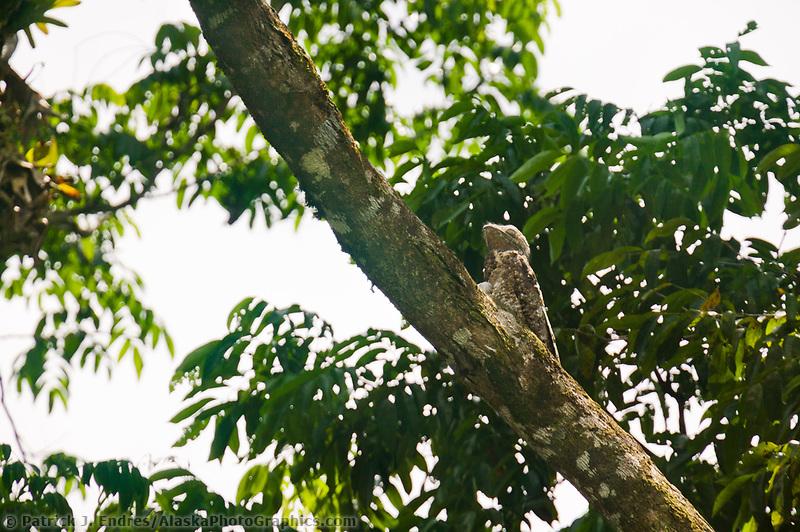 Great Potoo, Tortuguero, Eastern Costa Rica, Central America