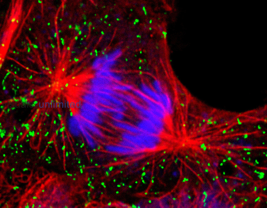 Confocal image of dividing cell. The markers are mitotic spindle (in red), the chromosomes (in blue) peroxisomes (in green). LM