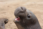 elephant seal sub-adult bull, elephant seal teeth