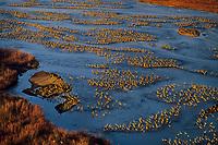 Sandhill cranes roosting along Platte River, NE. March.