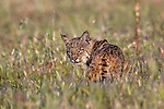 USA, California, Pt. Reyes National Seashore, bobcat (Lynx rufus)