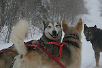 Sled dogs in Quebec