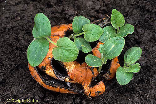 DC08-016a  Decaying pumpkin - seeds growing out of decomposing pumpkin
