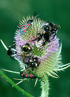 Bumblebees On Teasel