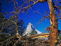 Matterhorn and larch tree, Zermatt, Swiss Alps, Switzerland