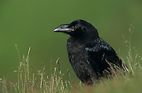 Common Raven, Corvus corax,young, Ekkeroy, Norway, Europe