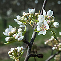 Blossom of Pear 'Josephine de Malines', mid March. A Belgian pear raised in about 1830 by Major Esperen at Malines and named after his wife.