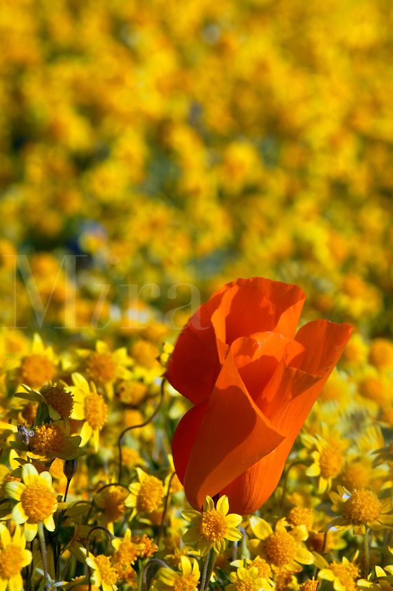 carpets of goldfields (Lasthenia californica) and California Poppies (Eschscholzia californica) Antelope Valley near Lancaster, California.