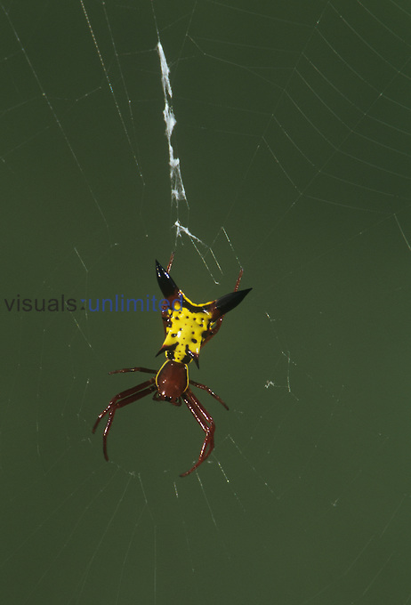 Arrow-shaped or Spiny-backed Spider (Micrathena sagittata). Florida, USA.