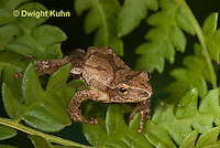 FR16-617z  Spring Peeper on fern leaves, Hyla crucifer or Pseudacris crucifer
