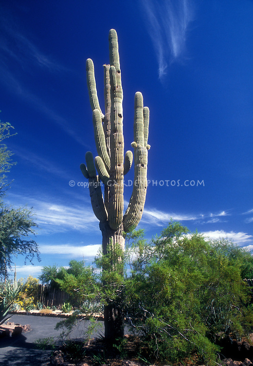 Desert Plant Saguaro Cactus growing in landscape agains vivid blue Arizona sky with dramatic white clouds
