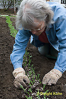 HS69-610z  Peas, placing soil around pea plants in garden after removal from gutters, peas were started in gutters for better germination, Sugar Snap Peas, photo release available