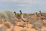 Emu (Dromaius novaehollandiae) is the largest bird native to Australia and the only extant member of the genus Dromaius. It is also the second-largest extant bird in the world by height, after its ratite relative, the ostrich.