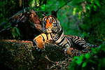 A ray of late-morning sun filters through the jungle canopy to fall on a resting bengal tiger cub in Bandhavgarh National Park, Madhya Pradesh, India.