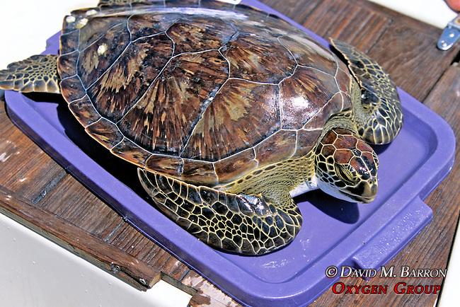Green Turtle
