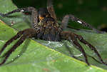 Wolf spider, Family Lycosidae, Manu Peru, jungle, amazon,  on leaf, ambush pose.South America....