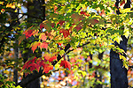 Colorful Maple Leaves during Fall Season in Rural New Hampshire USA