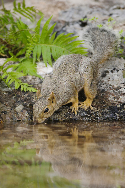 Eastern Fox Squirrel, Sciurus niger, adult drinking from spring fed pond, Uvalde County, Hill Country, Texas, USA, April 2006
