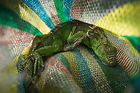 "An iguana in a bag about to be cooked at restaurant Almendros owned by Concepción Salazar Ordoñez ""Conchita"", Puerto Arista, on the coast of Chiapas, Mexico"