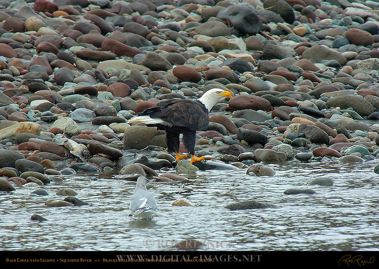 Bald Eagle with Salmon, Squamish River, Brackendale Eagles Provincial Park, Vancouver, British Columbia