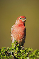 House Finch, Carpodacus mexicanus, male, Uvalde County, Hill Country, Texas, USA, April 2006