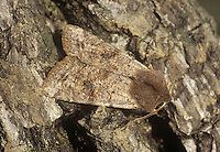 Clouded Drab Orthosia incerta Length 19-21mm. A variable and subtly attractive moth, despite the uninspiring name. Rests with its wings held flat, often one forewing partly the other. Adult forewing colour ranges from dark brown to grey-buff; usually visible are a dark central patch and two dark streaks towards the outer margin. Larva feeds on deciduous trees, notably oaks. Widespread and common.