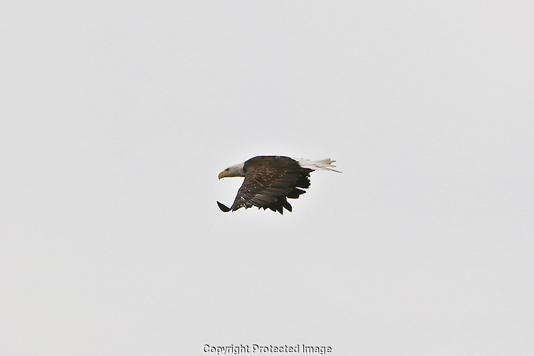 Chester River Bald Eagle