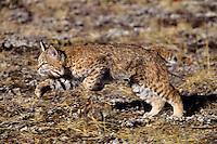 Bobcat (Lynx rufus),  Western U.S.