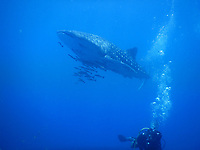 Whale Shark<br /> Koh Chang Divers 2018<br /> Second World War warship wreck HTMS CHANG; visibility 10meters; 2 Whale sharks 17 meters each.<br /> Koh Chang, Thailand, April 30, 2018.<br /> CAP/GOL<br /> &copy;GOL/Capital Pictures /MediaPunch ***NORTH AND SOUTH AMERICAS ONLY***