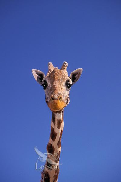 Masai Giraffe (Giraffa camelopardalis tippelskrichi) found in Kenya and Tanzania. The tallest land mammal in the world.