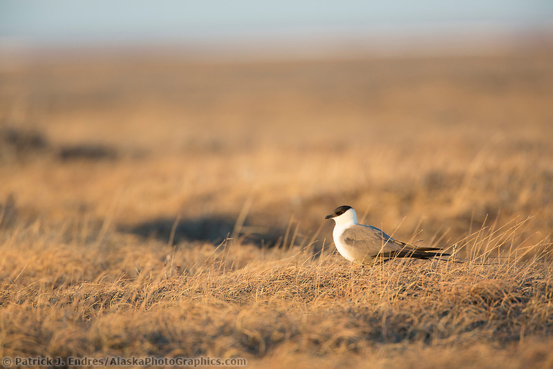 Long-tailed jaeger in the midnight sun on the tundra of Alaska's arctic north slope.