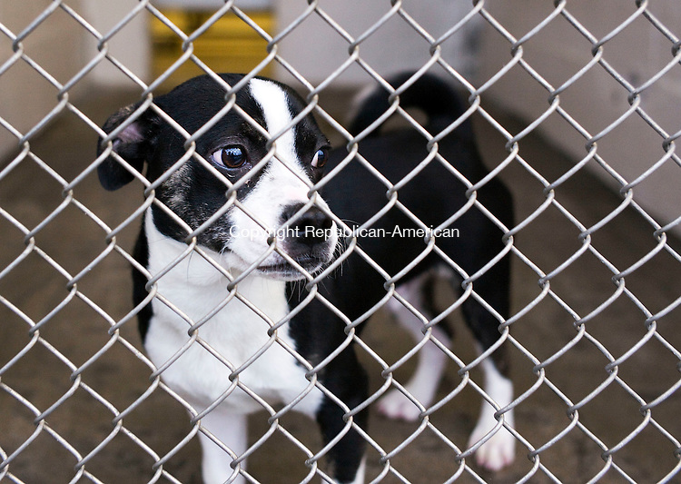 Waterbury, CT- 23 December 2015-122315CM08- A pug and beagle mix stands at his kennel at the Waterbury Dog Pound on Wednesday. The pound advices against giving dogs as gifts around the holidays because it could potentially  place an unforeseen burden on the recipient.    Christopher Massa Republican-American