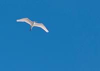 Great egret, Ardea alba, flying over Salt Lake in Saline Valley, Death Valley National Park, California