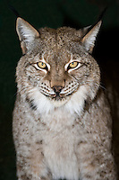 657140001 portrait of a captive lynx felis lynx that is a wildlife rescue native to the northern tier of north america