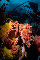 Giant Pacific Octopus (Octopus dolfleini) underwater in Browning Pass, off northern Vancouver Island, British Columbia, Canada.