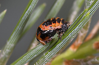 Harlequin Ladybird pupa - Harmonia axyridis