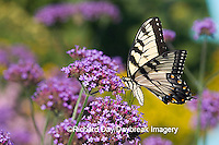 03023-023.12 Eastern Tiger Swallowtail (Papilio glaucus) on Brazilian Verbena (Verbena bonariensis) Marion Co.  IL