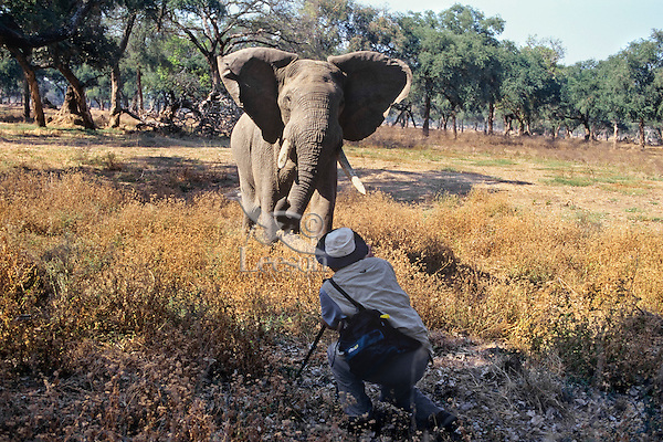 Photographing bull elephant, Mana Pools, Africa.