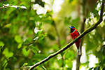 Red-naped Trogon (Harpactes kasumba) male, Danum Valley Conservation Area, Sabah, Borneo, Malaysia