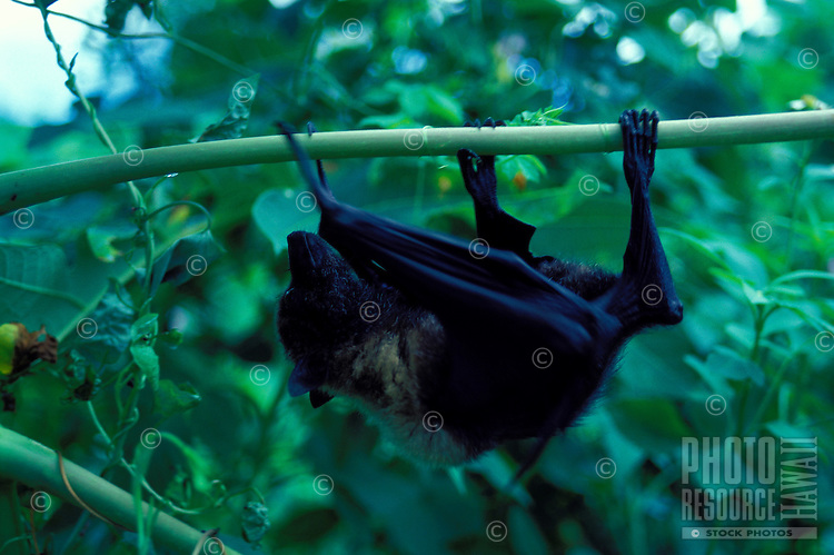 Palau Fruit bat, Anguar, Palau-captive animal.