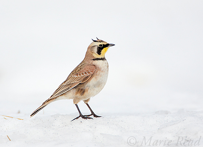 Horned Lark (Eremophila alpestris), male in snow-covered field, New York, USA