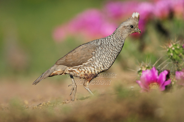 Scaled Quail (Callipepla squamata), adult male and Strawberry Hedgehog Cactus (Echinocereus enneacanthus), Laredo, Webb County, South Texas, USA