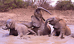 .Elephant orphans play in the water.