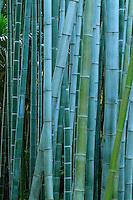 France, Gard, Générargues, LA BAMBOUSERAIE : bambous, Phyllostachys pubescens.